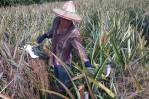 pineapple farmer 1