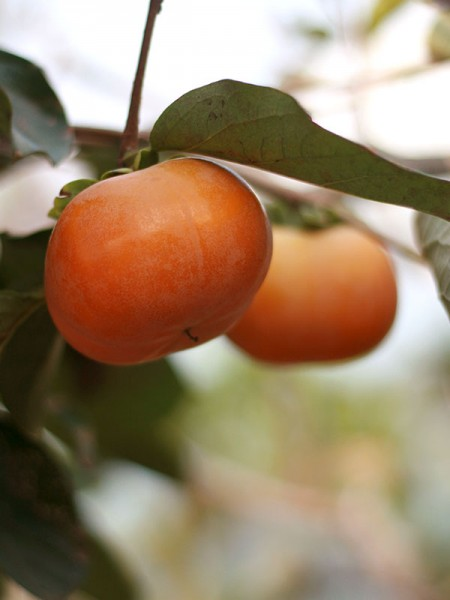 sweet-persimmon-7-1